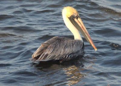 Canary Cove Pelican