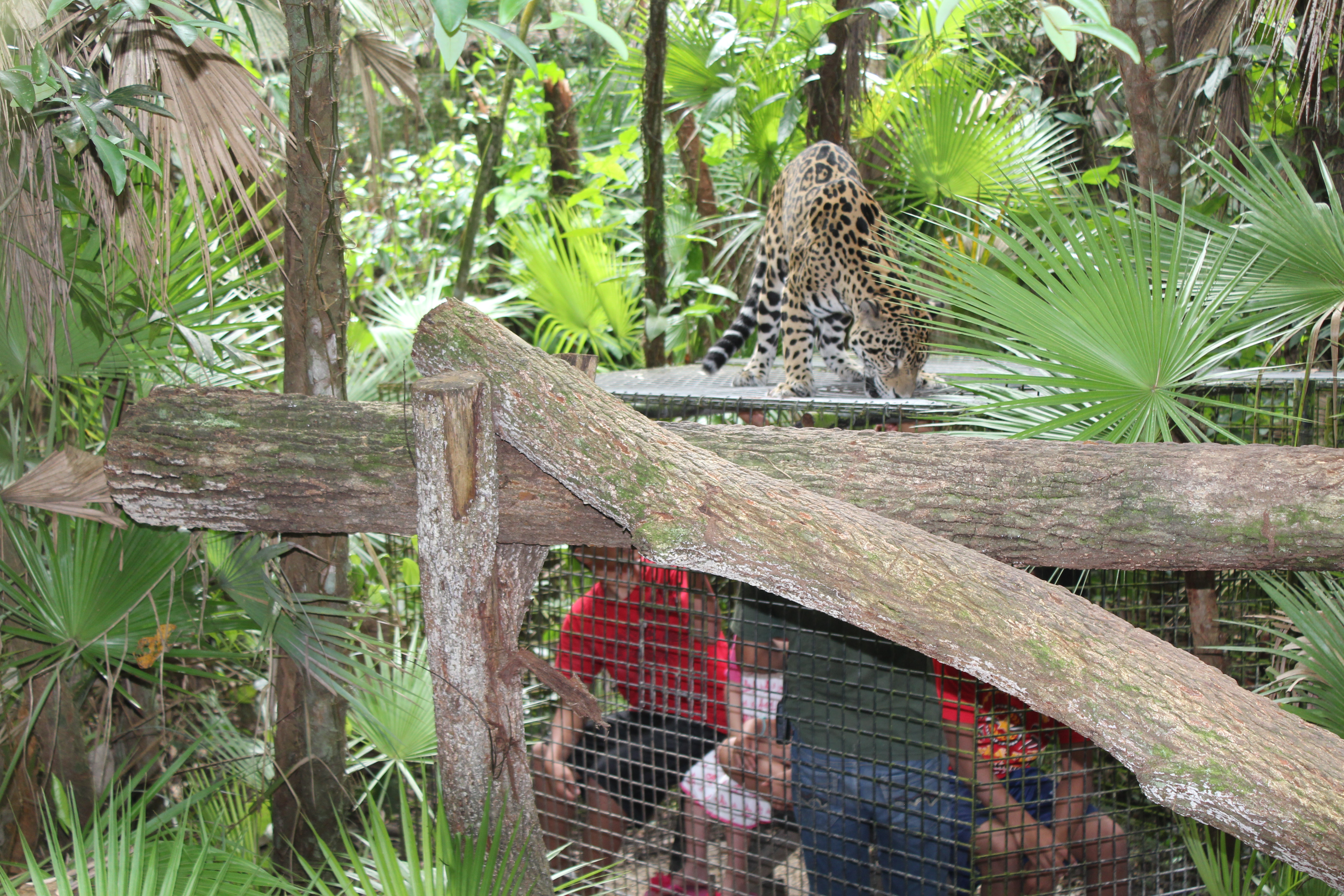 Belize Zoo Privately Guided Jaguar Experience