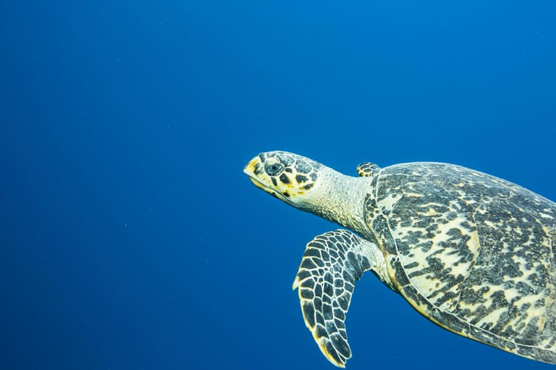 Belize: Turtle Seen While SCUBA Diving the Great Barrier Reef