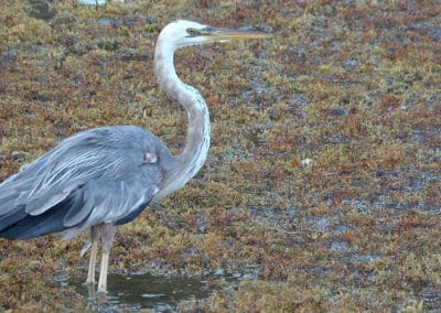 Heron at Canary Cove