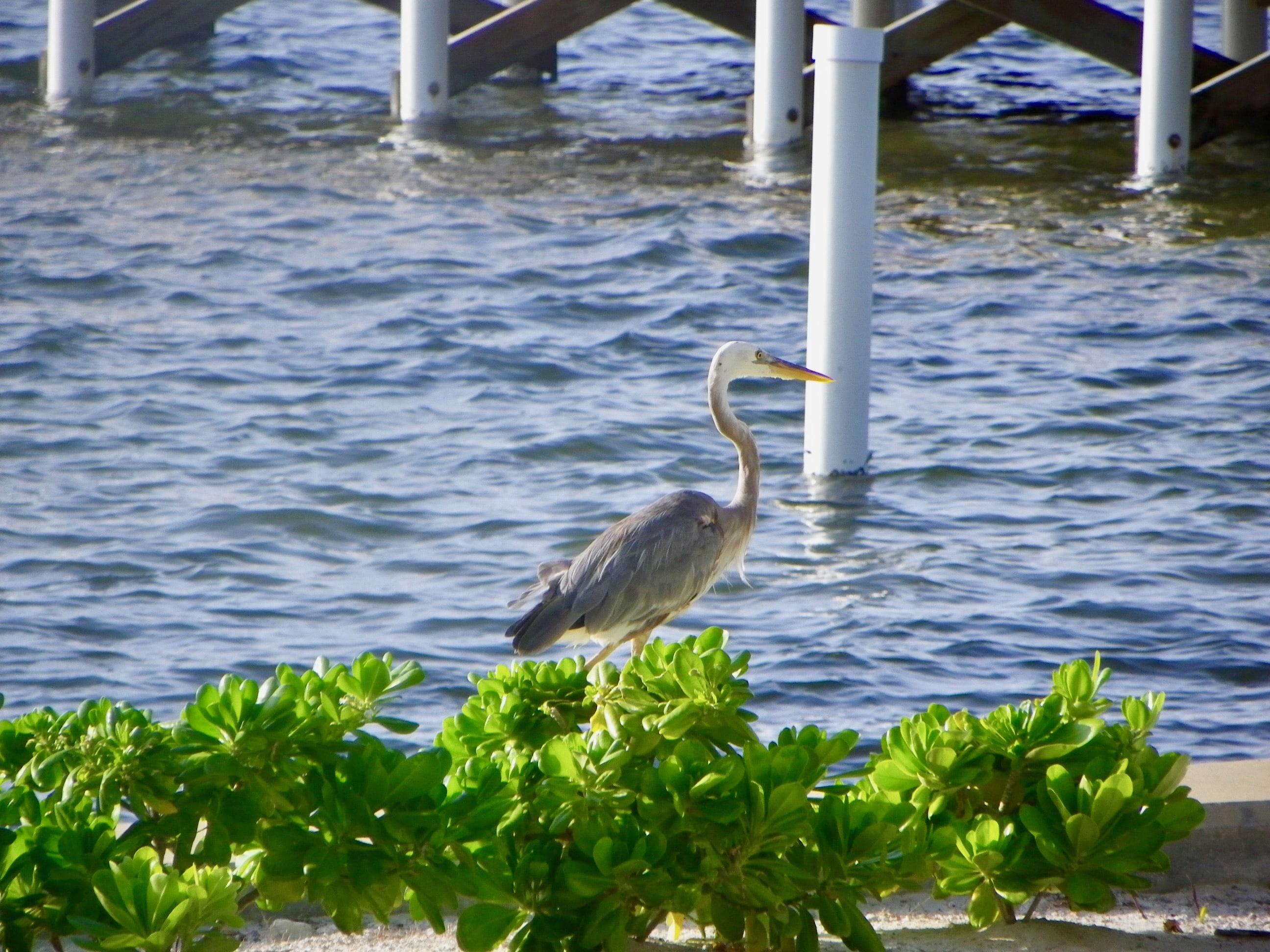 Heron at Canary Cove